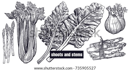 Shoots, stems set. Chard, celery, asparagus, fennel isolated. Vegetarian food for menu, recipes, decoration kitchen items. White and black. Vector illustration art. Hand drawing of vegetables. Vintage