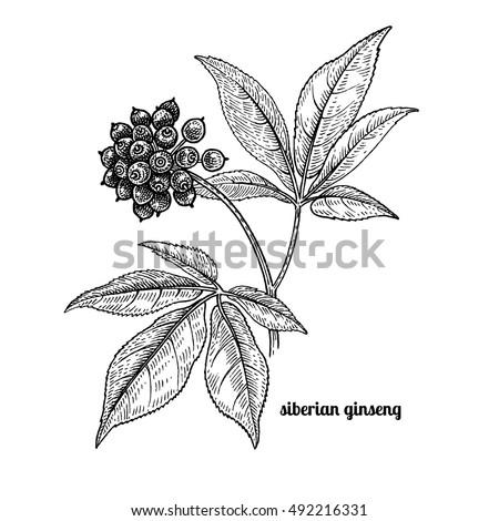 siberian ginseng. medical plant....