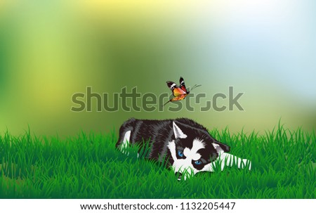 siberian husky dog at lawn