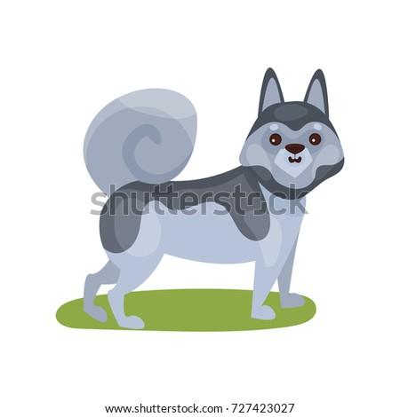 siberian husky dog  purebred