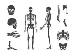 Silhouette Black Human Skeleton and Part Set Anatomy Bone Isolated on White Background . Vector illustration