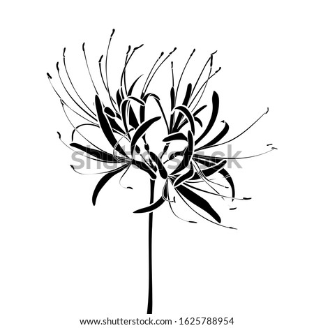 silhouette of a spider lily