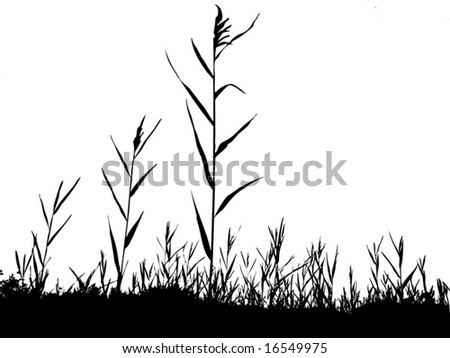 silhouette of the reed isolated