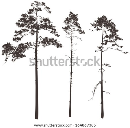 silhouettes of three tall pines