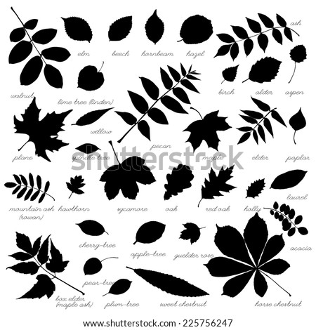 silhouettes of tree leaves  elm
