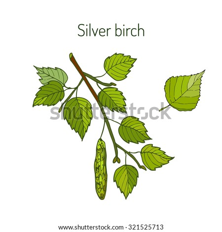 Silver birch branch with green leaves. Vector illustration