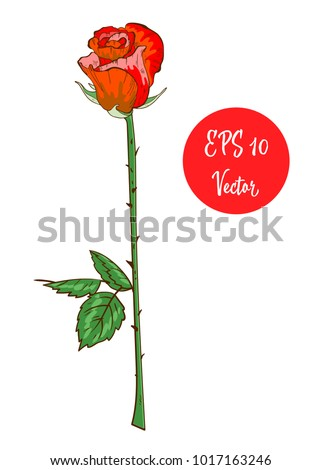 Single red rose flower vector illustration, beautiful red Valentine rose on long stem isolated on white background