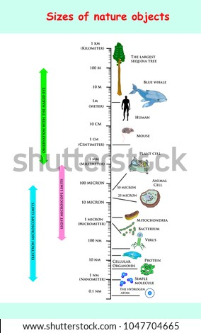 sizes and dimension of nature objects. educational vector infographic comparing the sizes of nature objects: The largest sequoia tree the Blue Whale Human Mouse Plant Mitochondria Bacterium Virus.