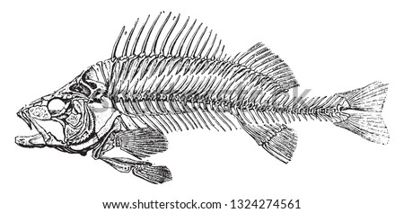 Skeleton of the fluvial perch, vintage engraved illustration. from Zoology Elements from Paul Gervais.