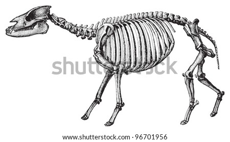 Skeleton Palaeotherium magnum (Tertiary period) / Vintage illustration from Meyers Konversations-Lexikon 1897