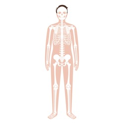 Skeleton system and human bones. X ray with adult male silhouette. Skull, arms, legs, knee and foot. Man body concept. Ribs, hands and joints. Isolated flat vector illustration. Poster for medical use