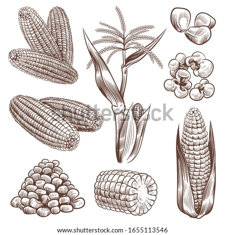 Sketch corn. Hand drawn vintage drawing cereal plants agriculture maize, healthy corn cob and grains, popcorn for fast food packaging, menu vector engraving set Сток-фото ©