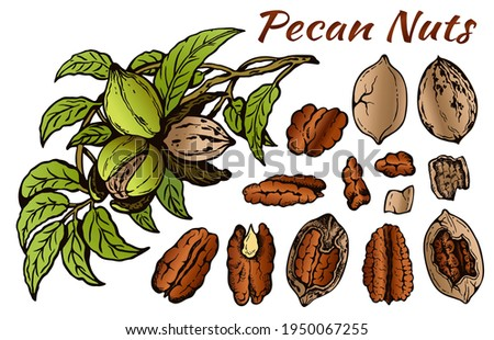 Sketch drawing set of colorful pecan nuts isolated on white background. Line art brown nut in shell, outline walnut, snack, botanical, tree, green leaves. Vector illustration. Zdjęcia stock ©