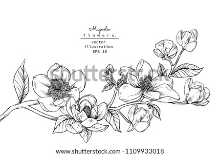 Sketch Floral Botany Collection. Magnolia flower drawings. Black and white with line art on white backgrounds. Hand Drawn Botanical Illustrations.Vector. #1109933018