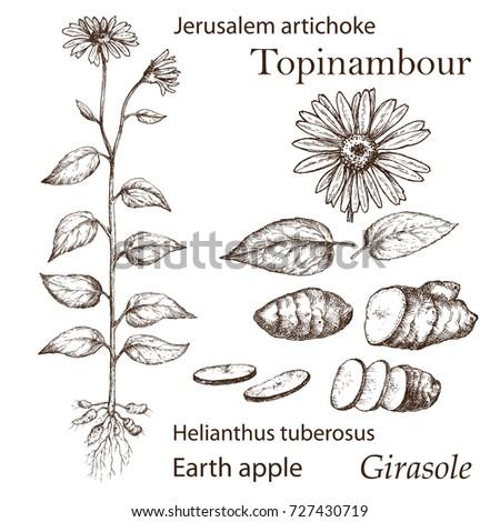 sketch of a jerusalem artichoke