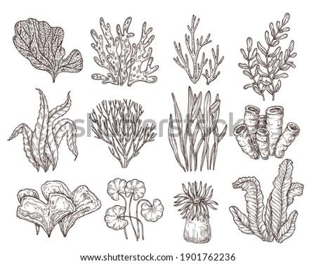 Sketch seaweed. Isolated ocean seaweeds, aquarium decorative art elements. Underwater corals, engraving sea algae laminaria exact vector set