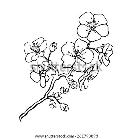sketch twig sakura blossoms
