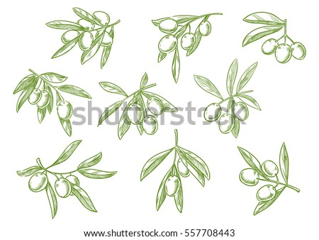 Sketched tree branch and olives bunch. Symbol for olive oil bottle label or Italian, Mediterranean, Greek or Spanish cuisine