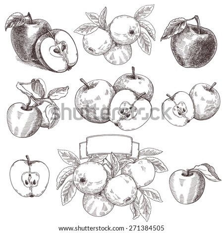 Sketches and engravings apples composition. Set of hand drawn apple. Vintage sketch style illustration.