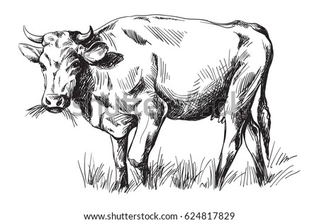 sketches of cows drawn by hand. ...