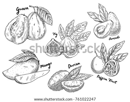 Sketches of fruits for vegetarian food or nutrition. Set of isolated guava and avocado or alligator pear, passion fruit or maracuya, durian or durio, common fig and mango. Agriculture theme