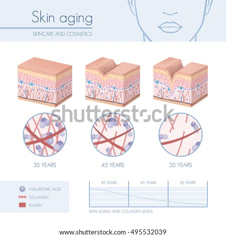 Skin aging stages diagrams, collagen and elastin progressive decrease close up, skincare infographics