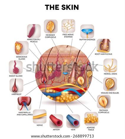 skin anatomy in the round shape