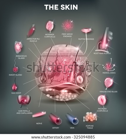 skin anatomy structure in the