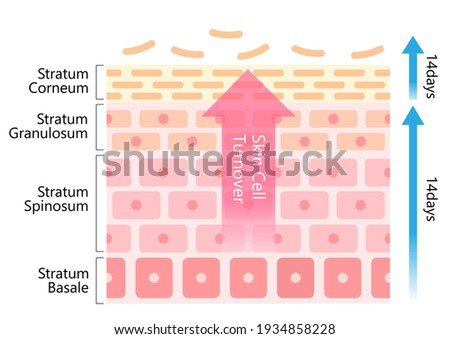 skin cell turnover diagram illustration. Skin care and beauty concept Foto stock ©
