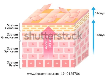 skin cell turnover process illustration. Skin care and beauty concept Foto stock ©