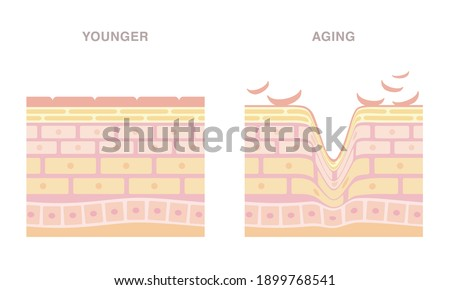 Skin cross section. Younger and aging. Smooth and wrinkled. Pale colored illustration in flat cartoon style.
