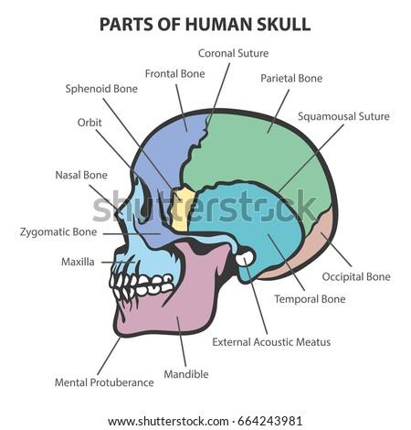 skull anatomy vector