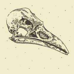 skull in vector