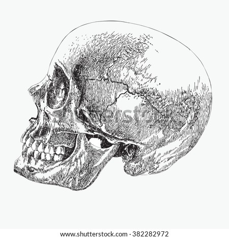 skull profile vector download free vector art stock graphics images