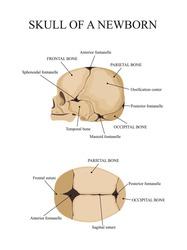 Skull of a newborn. Human anatomy