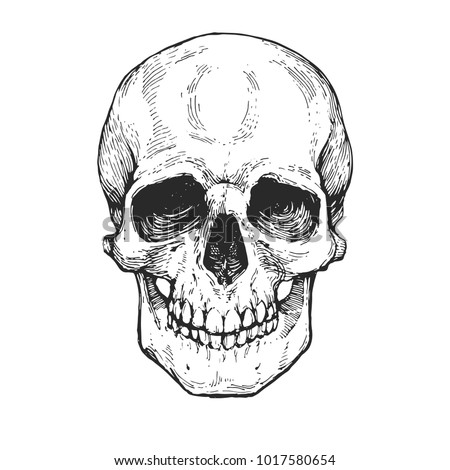 skull  skeleton head anatomy