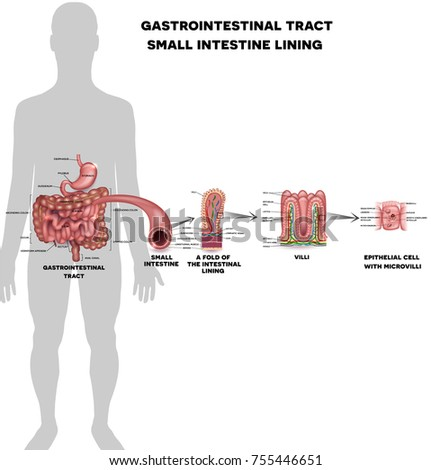 Small intestine lining anatomy, a fold of the intestinal lining, villi and epithelial cell with microvilli detailed illustrations.