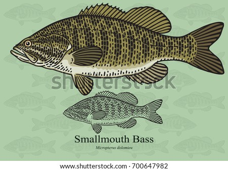 Smallmouth Bass, Smallie. Vector illustration with refined details and optimized stroke that allows the image to be used in small sizes (in packaging design, decoration, educational graphics, etc.)