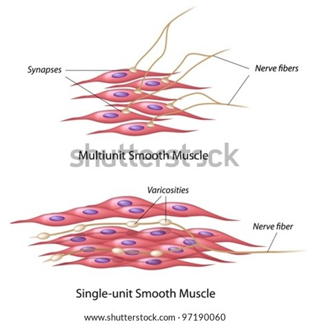 Smooth muscle innervation - stock vector