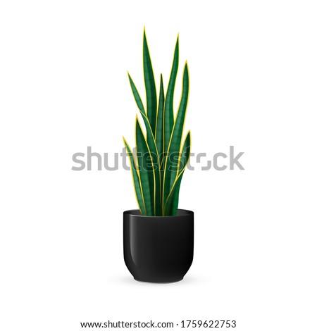 snake plant vector illustration