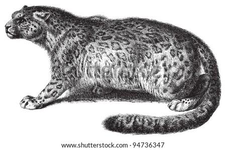 Snow leopard (Panthera uncia) / vintage illustration from Meyers Konversations-Lexikon 1897