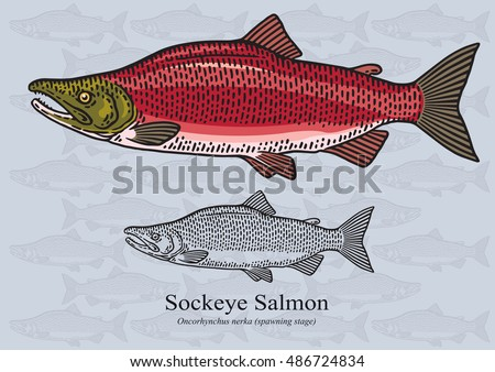 sockeye salmon  red salmon