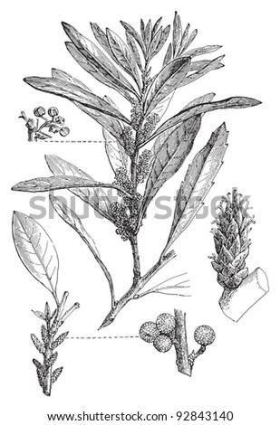 Southern Wax Myrtle (Myrica cerifera) / vintage illustration from Meyers Konversations-Lexikon 1897