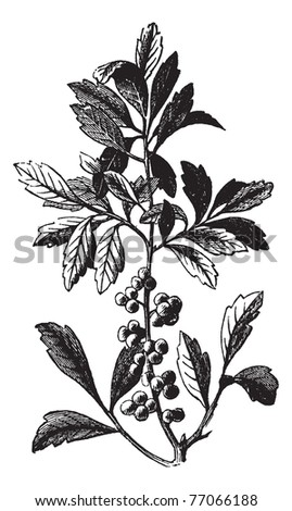 Southern Wax Myrtle or Southern Bayberry or Candleberry or Tallow or Myrica cerifera, vintage engraving. Old engraved illustration of a Southern Wax Myrtle showing berries. Trousset Encyclopedia