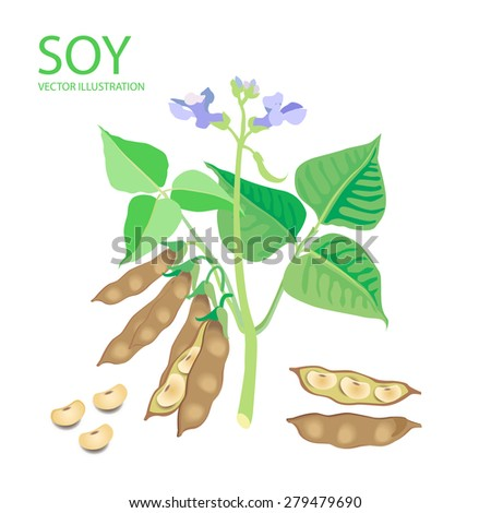soybean illustration