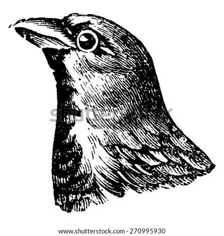 sparrow  vintage engraved