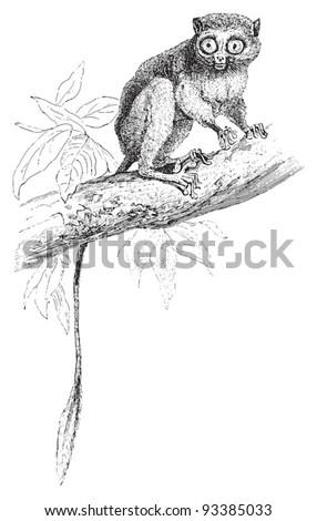 Spectral tarsier (Tarsius spectrum) / vintage illustration from Meyers Konversations-Lexikon 1897