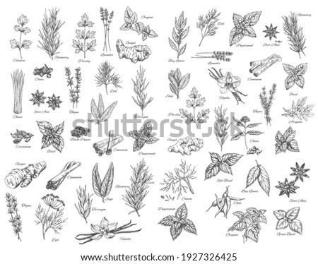 Spices, cooking herbs and seasonings sketch vectors set. Bay leaves, peppermint and sage, cinnamon and ginger, black pepper, cardamon and cloves, basil, oregano and arugula, dill, cilantro and anise Сток-фото ©