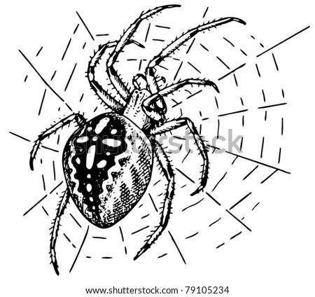 Spider Araneus