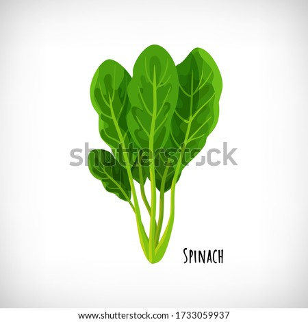 Spinach fresh juicy raw leaves isolated on white background. Healthy diet, vegetarian food. Green salad plant in flat style. Lettering Spinach. Element for cooking food design. Vector illustration. Сток-фото ©